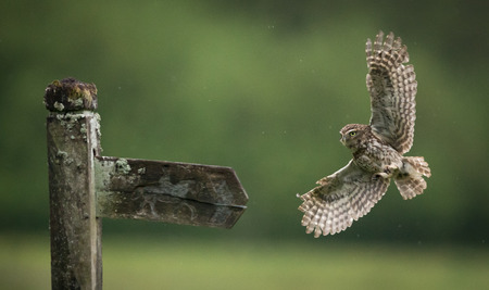 onto: Little owl flying onto an old fence post