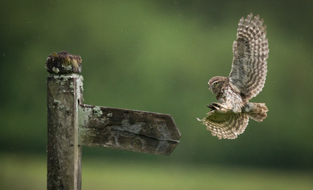 fence post: Little owl flying onto an old fence post