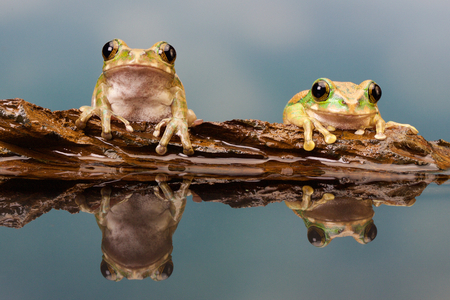Two little frogs on a log in a reflection pool