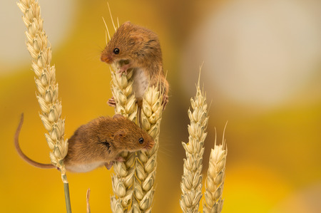 Little harvest mouse on some wheat