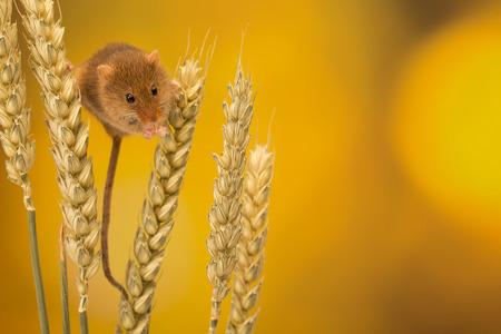 ratones: Pequeño ratón de la cosecha en un poco de trigo Foto de archivo