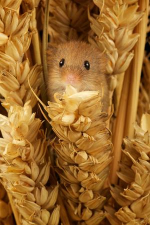 Little harvest mouse Фото со стока