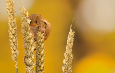 Little harvest mouse Standard-Bild