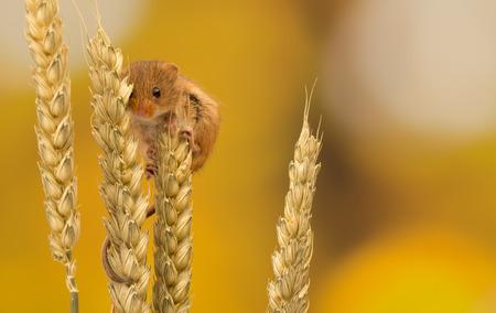 ratones: Pequeño ratón cosecha