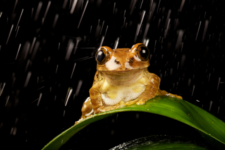 green tree frog: Frog in the rain