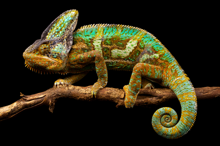 A veiled chameleon walking slowly on a branch isolated on a back background