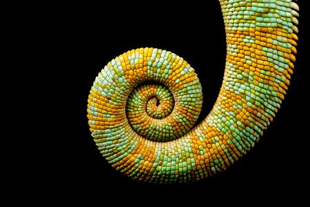 Spiral, a curled up chameleon tail