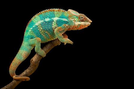 Chameleon geïsoleerd op zwarte achtergrond