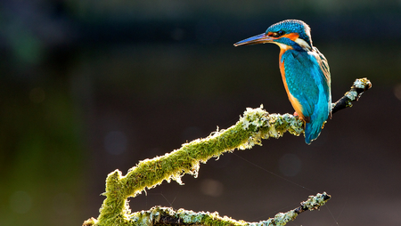 Kingfisher Фото со стока