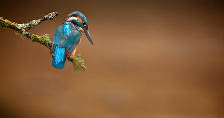 Kingfisher Standard-Bild