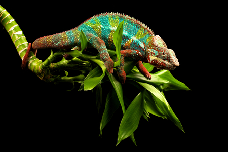 Blue bar chameleon on a bamboo plant