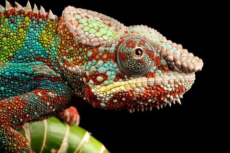 Blue bar chameleon close up Stock Photo