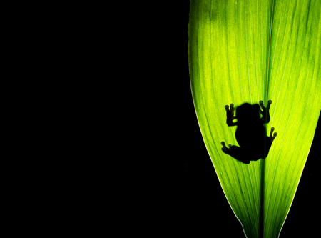 Silhouette of a frog on a leaf
