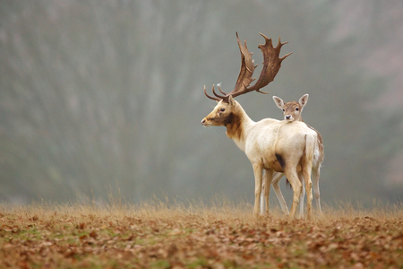 Fallow love, a fallow deer doe resting her head on the back of a buck Standard-Bild