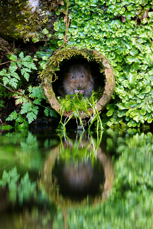 willows: Little water vole in its favourite water pipe Stock Photo