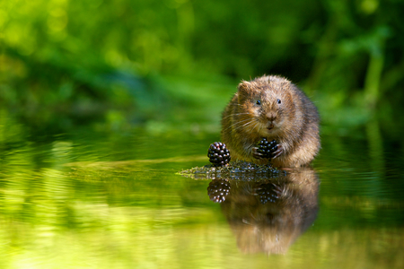 willows: Little water vole eating some blackberries Stock Photo