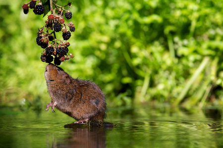 ratty: Little water vole eating some blackberries Stock Photo