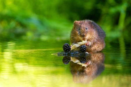 ratty: Poco arvicola d'acqua mangiare qualche mela e more Archivio Fotografico