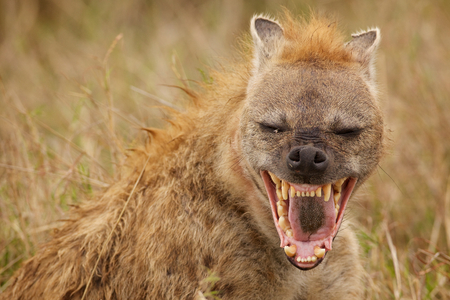 Hyena laughing at the camera Archivio Fotografico