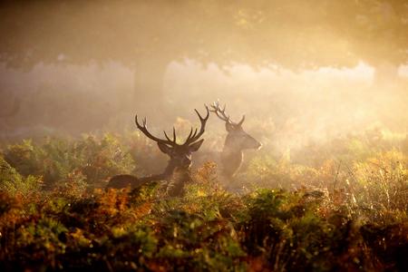 새벽 안개 속에서 두 개의 빨간색 사슴 숫 사슴