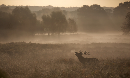 elaphus: Red call, a red deer stag calling in the mist