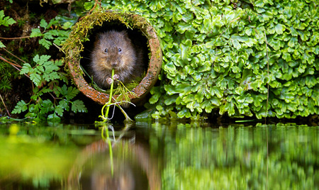Vole in a hole, A wild water vole