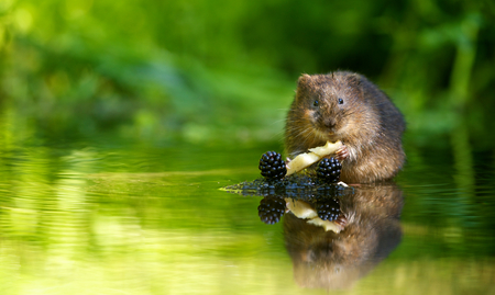 A little water vole