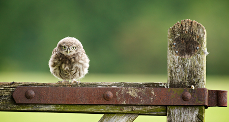 bird: fuzzball, a little owlet sitting on an old farm gate Stock Photo