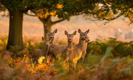 Red deer hinds looking at the camera