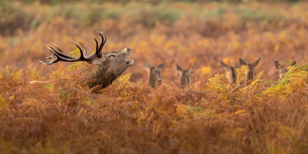 Large red deer stag in autumn