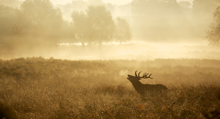 venado: Silueta grande del ciervo rojo en el otoño de niebla