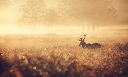 background deer: Large red deer stag silhouette in autumn mist