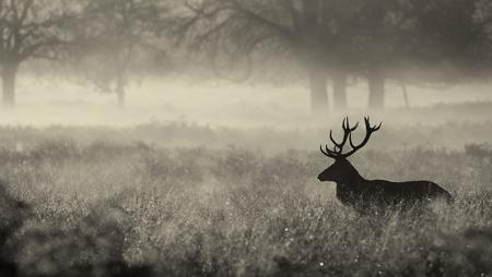 가을 안개에 모노 큰 붉은 사슴 사슴 실루엣