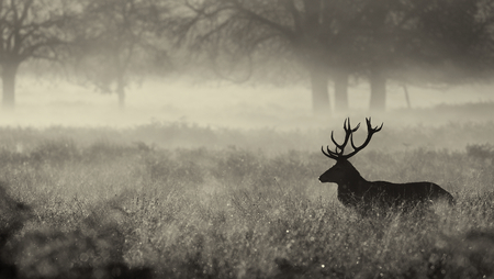 Mono Large red deer stag silhouette in autumn mist Standard-Bild
