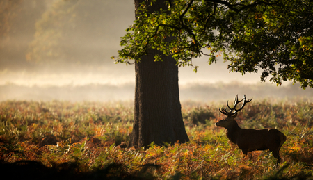 tree  forest: Large red deer stag