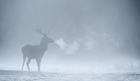 mist: Large red deer stag silhouette in autumn mist