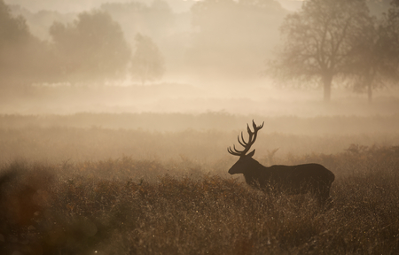 Large red deer stag silhouette in autumn mist