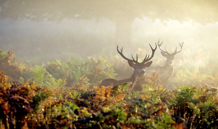 Large red deer stag in autumn mist
