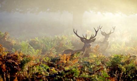 Grote rode herten hert in de herfst mist Stockfoto - 49462452