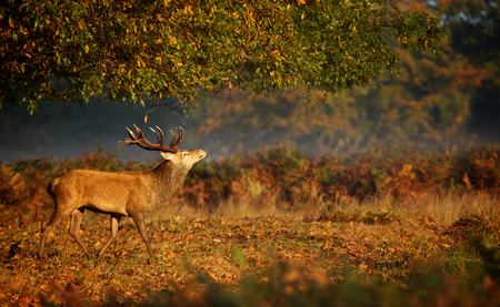 red deer: Large red deer stag in autumn