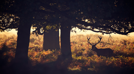 Large red deer stag silhouette in autumn