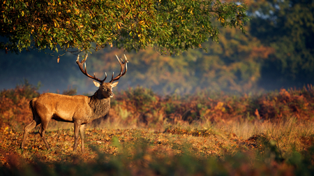 wild: Large red deer stag in autumn