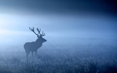 venado: Silueta de ciervo rojo en el otoño de niebla Foto de archivo