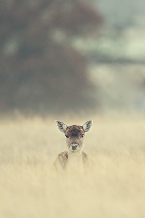 a small fallow deer in long grass Standard-Bild