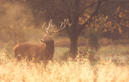 Red deer stag in the golden autumn dawn