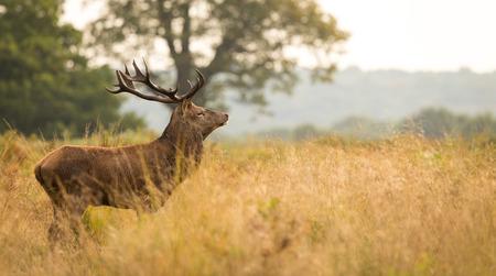 red deer: Red deer stag