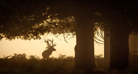 venado: ciervo rojo macho silueta Foto de archivo