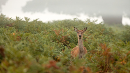 A red deer hind in the autumn bracken Фото со стока