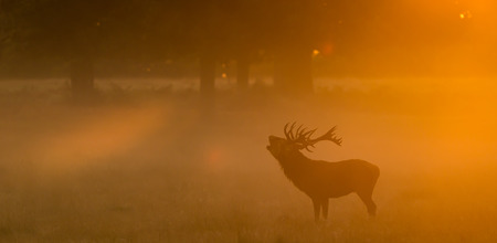 animal in the wild: Red deer stag calling in the golden autumn mist