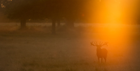Red deer stag calling in the golden autumn mist